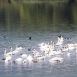 Faună pe lacurile din Neamț