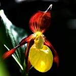 Orhidee din Masivul Ceahlău