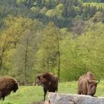 Ținutul zimbrului din Neamț- destinație premiată la nivel mondial