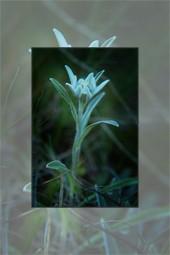 Flori pe platoul muntelui Ceahlau