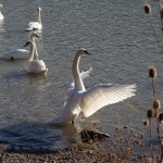 Dansul lebedelor pe lacurile din județul Neamț