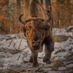Bison Safari sau pe urmele zimbrului în Parcul Natural Vânători Neamț