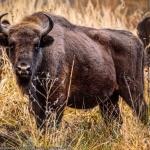 Ținutul Zimbrului – Parcul Natural Vânători Neamț