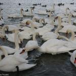 Iarna pe lacul lebedelor – Pângăraţi