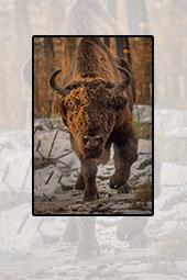 Zimbrii din Parcul Naţional Vânători-Neamţ