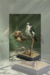 Colectia de pasari impaiate de la Muzeul de Stiinte Naturale din Piatra Neamt