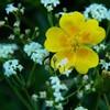 Flori de vara pe Ceahlau