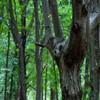 Rezervatia de stejari Dumbrava