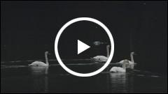 Lebede pe Lacul Pangarati 2014