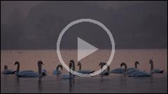Lebede si rate pe Lacul Pangarati